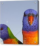 Rainbow Lorikeets Acrylic Print