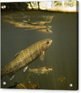 Rainbow Trout In Creek  Aptos California Acrylic Print