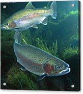 Rainbow Trout Oncorhynchus Mykiss Pair Acrylic Print