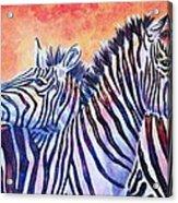 Rainbow Zebras Acrylic Print by Diana Shively