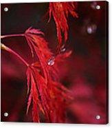 Raindrop On Japanese Maple Acrylic Print
