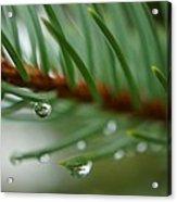 Raindrops And Fir Needles Acrylic Print