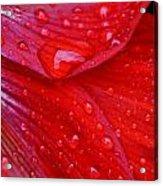 Raindrops On Amaryllis Acrylic Print