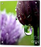 Raindrops On Chives In Bloom Acrylic Print