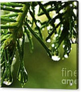 Raindrops On Pine Needles Acrylic Print