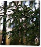 Raindrops On The Spruce Twig Acrylic Print