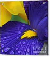 Raindrops Purple Dutch Iris Flower Acrylic Print