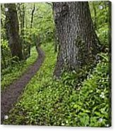 Ramsons By Path In Woods, County Louth Acrylic Print