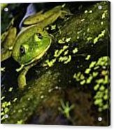 Rana Clamitans Or Green Frog Acrylic Print