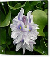 Rare Hawain Water Lilly Acrylic Print by Claude McCoy