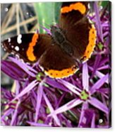 Red Admiral Butterfly Acrylic Print by Maria Scarfone
