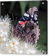 Red Admiral With Folded Wings Acrylic Print