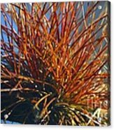 Red Air Plant Acrylic Print