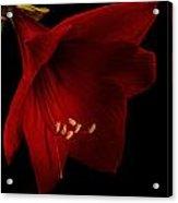 Red Amaryllis - 2 Acrylic Print