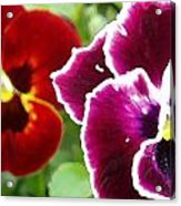 Red And Magenta Pansies Acrylic Print