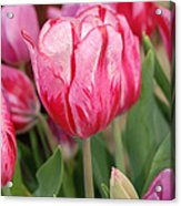 Red And Pink Tulips Acrylic Print