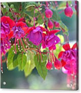 Red And Purple Fuchsias Acrylic Print