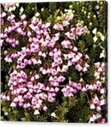 Red And White Mountain Heather Acrylic Print