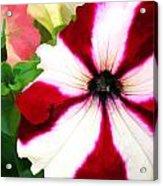 Red And White Petunia Acrylic Print