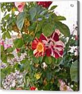 Red And White Roses 3 Acrylic Print