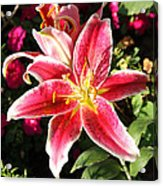 Red And White Tiger Lily Acrylic Print