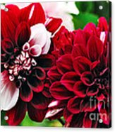 Red And White Variegated Dahlia Acrylic Print