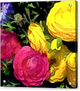 Red And Yellow Ranunculus Flowers Acrylic Print