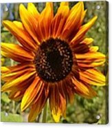 Red And Yellow Sunflower Acrylic Print