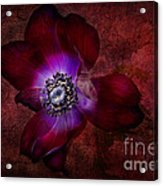 Red Anemone Acrylic Print