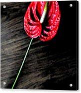 Red Anthrium Acrylic Print