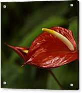 Red Anthurium Acrylic Print