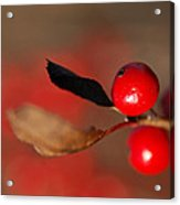 Red As A Winterberry Acrylic Print
