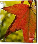 Red Autumn Leaf Acrylic Print