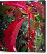 Red Autumn Woodbine Acrylic Print