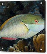 Red-banded Parrotfish Bonaire Acrylic Print