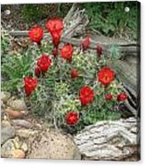 Red Barrel Cactus Acrylic Print