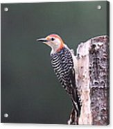 Red-bellied Woodpecker - Looking For Food Acrylic Print