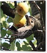 Red-bellied Woodpecker - Yummy Pears Acrylic Print