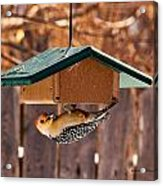 Red-bellied Woodpecker At Lunch Acrylic Print