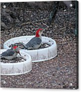 Red Bellied Woodpeckers Male And Female Acrylic Print