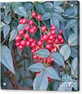 Red Berries 1 Acrylic Print