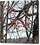 Red Berries White Sky Acrylic Print