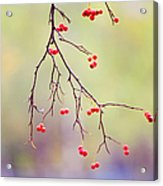 Red Berrries Acrylic Print