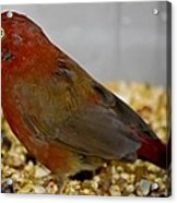 Red Billed Fire Finch Acrylic Print