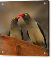 Red-billed Oxpeckers Acrylic Print
