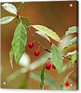 Red Bird Berries Of Fall Acrylic Print