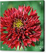Red Blanket Flower Acrylic Print