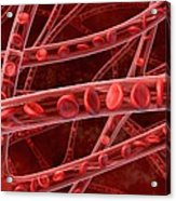 Red Blood Cells In Blood Vessels, Artwork Acrylic Print