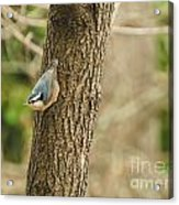 Red-breasted Nuthatch Acrylic Print