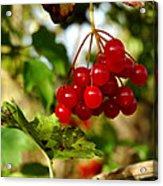 Red Bunch Acrylic Print by LeeAnn McLaneGoetz McLaneGoetzStudioLLCcom